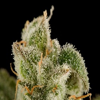 Dinafem Seeds Blue Thai Feminized