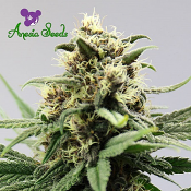 Auto Lemon Grass - Feminized - Anesia Seeds