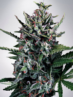 Ministry of Cannabis Seeds Auto Silver Bullet Feminized