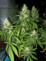 Holy Smoke Seeds Black Honey Haze Feminised