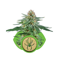 Royal Queen Seeds White Widow Automatic Feminized