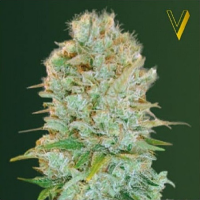 Victory Seeds Critical Feminized