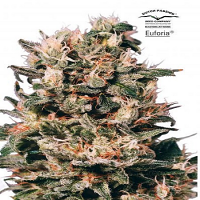 Dutch Passion Seeds Euforia Regular