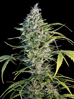 Big Monster Flow - Feminized - Big Monster Seeds