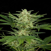 Dinafem Seeds Critical Jack Auto Feminized (PICK N MIX)