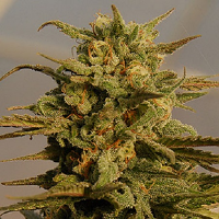 Big Head Seeds Julie's Cookies Auto Feminized