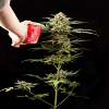 Dinafem Seeds Haze Auto Feminised (PICK N MIX)
