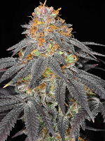 Haute Genetique Seeds Raspberry Cookies Regular