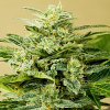 Advanced Seeds Low Girl Feminized (PICK N MIX)