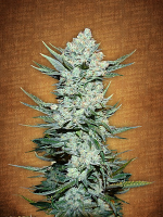 FastBuds Seeds Tangie'matic Auto Feminized (PICK N MIX)