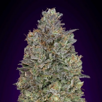 Critical Purple Kush - Feminized  - Advanced Seeds (PICK N MIX)