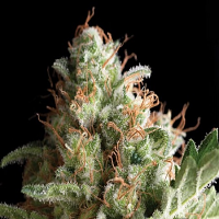 Pyramid Seeds Auto American Pie Feminized