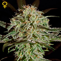 Green House Seeds A.M.S Feminized