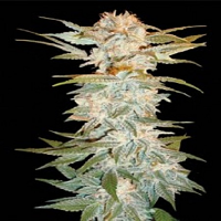 DNA Genetics Seeds Stacked Kush Feminized