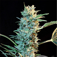 Grass-O-Matic Auto AK Feminized