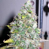 Sagarmatha Seeds Smurfberry Auto Feminised