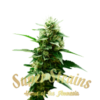 Mexican Candy - Feminized - Super Strains