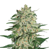 Seed Stockers Seeds Big Bud Feminized