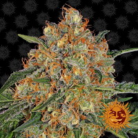 Barney's Farm Seeds Orange Sherbert Feminized