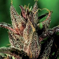 De Sjamaan Seeds Lady Purple Feminised