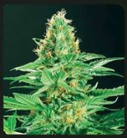 De Sjamaan Seeds Shamans High Regular