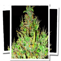 Emerald Triangle Seeds OG Critical Feminised