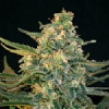 BlimBurn Seeds Guanabana Feminized
