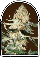 The KushBrothers Seeds Exotic Kush Feminized (PICK N MIX)