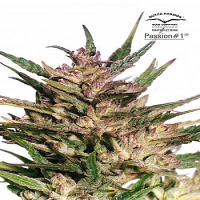 Dutch Passion Seeds Passion #1 Feminized