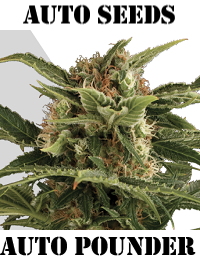 Auto Seeds Auto Pounder Feminised