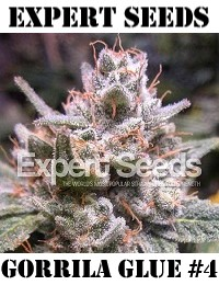 Expert Seeds Gorrila Glue 4 Feminized