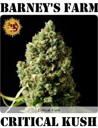 Barney's Farm Seeds Critical Kush Feminized